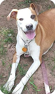 Boxer Mix Dog for adoption in Hagerstown, Maryland - Kimmy