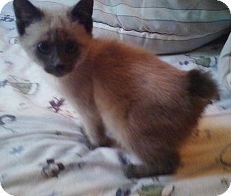 Siamese Kitten for adoption in High View, West Virginia - Fitz