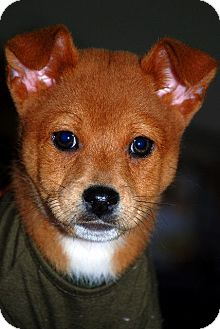 Chow Chow/Chihuahua Mix Puppy for adoption in Austin, Texas - Rufus