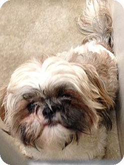 Shih Tzu Mix Puppy for adoption in Wanship, Utah - Trevor