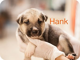 Shepherd (Unknown Type) Mix Puppy for adoption in Dallas, Texas - Hank