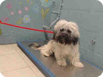 Havanese/Löwchen Mix Dog for adoption in Simi Valley, California - Ian