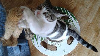 Domestic Shorthair Cat for adoption in Ottawa, Ontario - Munchkin