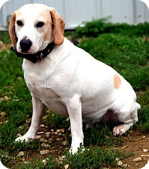 Beagle/Basset Hound Mix Dog for adoption in Evansville, Indiana - Jake