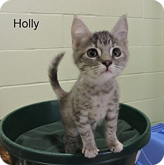 Domestic Shorthair Kitten for adoption in Slidell, Louisiana - Holly