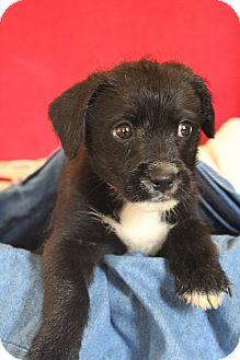 Labrador Retriever/Terrier (Unknown Type, Medium) Mix Puppy for adoption in Waldorf, Maryland - Cedar