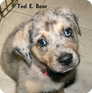 Australian Shepherd Puppy for adoption in Green Cove Springs, Florida - Ted E. Bear