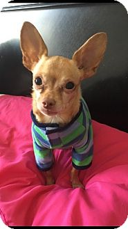 Chihuahua Mix Dog for adoption in Las Vegas, Nevada - Pip