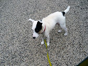 Parson Russell Terrier Dog for adoption in Wisconsin Dells, Wisconsin - Buddy
