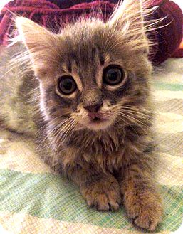Domestic Mediumhair Kitten for adoption in Los Angeles, California - Lavender