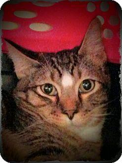 Domestic Shorthair Cat for adoption in Pueblo West, Colorado - Dennis