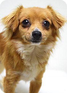 Spaniel (Unknown Type) Mix Dog for adoption in Dublin, California - Pumpkin