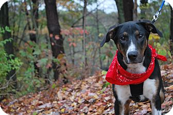 Shepherd (Unknown Type) Mix Dog for adoption in New Castle, Pennsylvania - Ruger