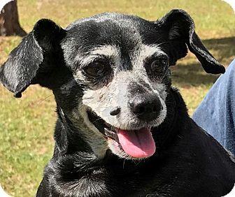 Chihuahua/Dachshund Mix Dog for adoption in Orlando, Florida - Janice