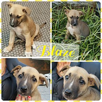 Shepherd (Unknown Type) Mix Puppy for adoption in Gainesville, Georgia - Blaze
