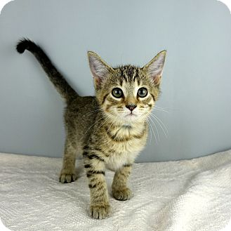 Domestic Shorthair Kitten for adoption in Columbia, Illinois - Star