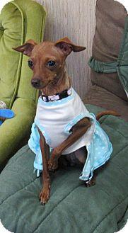Chihuahua/Miniature Pinscher Mix Dog for adoption in Sonoma, California - Charlotte