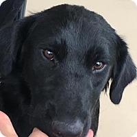 Adopt A Pet :: Ash - Murrells Inlet, SC