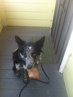 Australian Cattle Dog/Border Collie Mix Dog for adoption in San Francisco, California - Rodeo