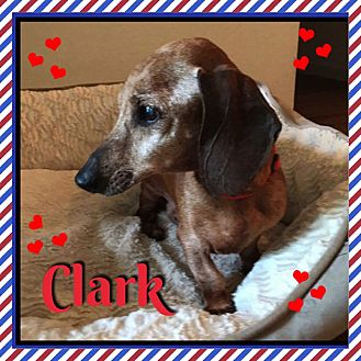 Dachshund Dog for adoption in Green Cove Springs, Florida - Clark