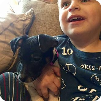 Rat Terrier Puppy for adoption in Albany, New York - Ellie (NY)