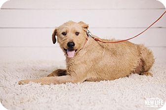 Wheaten Terrier/Labrador Retriever Mix Dog for adoption in Portland, Oregon - Tootsie