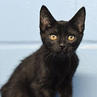 Domestic Shorthair Kitten for adoption in Marietta, Georgia - BooBoo