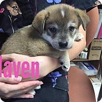 Adopt A Pet :: Haven-ADOPTION PENDING - Joplin, MO