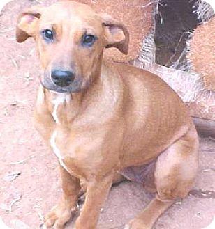 Redbone Coonhound Dog for adoption in Anderson, South Carolina - Redbone Hound
