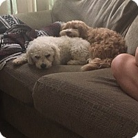 Adopt A Pet :: Bo - Huntington Beach, CA