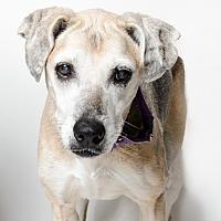 Adopt A Pet :: Shadow - Alexandria, VA