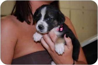 German Shepherd Dog/Beagle Mix Puppy for adoption in Las Vegas, Nevada - Jill (The Princess)