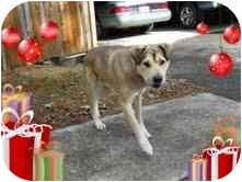 Husky Mix Dog for adoption in Portland, Maine - Bear