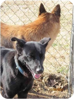 German Shepherd Dog Puppy for adoption in harrah, Oklahoma - Bear