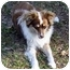 Photo 3 - Australian Shepherd Dog for adoption in Orlando, Florida - Leggs-Mini
