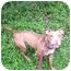 Photo 2 - Pit Bull Terrier Mix Dog for adoption in Orlando, Florida - Lambert