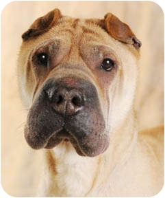 Shar Pei Dog for adoption in Chicago, Illinois - Andy
