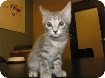 Domestic Shorthair Kitten for adoption in Houston, Texas - Dewey