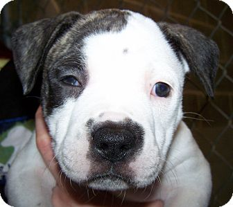Labrador Retriever/American Staffordshire Terrier Mix Puppy for adoption in Grants Pass, Oregon - Buckwheat