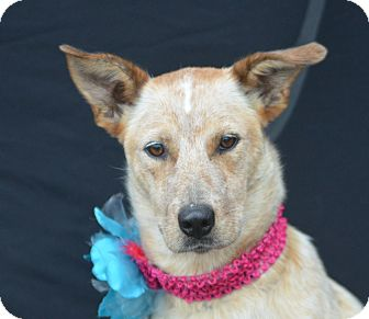 Australian Cattle Dog Mix Dog for adoption in Plano, Texas - Paige
