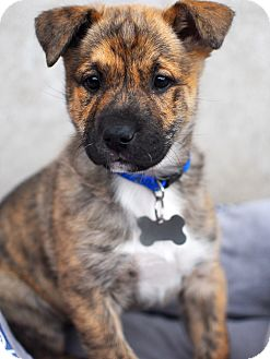 Shepherd (Unknown Type)/Chow Chow Mix Puppy for adoption in Detroit, Michigan - Skeeter- pending!
