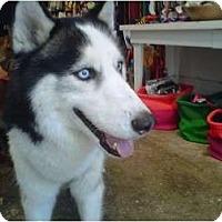 Adopt A Pet :: Brooklyn Boy - Huntington Station, NY