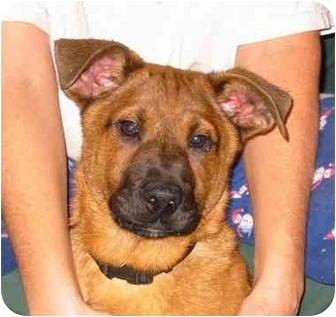 Boxer/Shepherd (Unknown Type) Mix Puppy for adoption in New Carlisle, Indiana - Augie