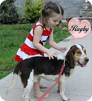 Basset Hound/Beagle Mix Puppy for adoption in Buffalo, New York - Rugby: 8 months
