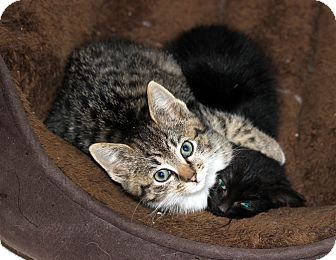 Domestic Shorthair Kitten for adoption in Arlington, Virginia - Fraser & Zara (Kitten Pair)