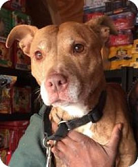 Chihuahua/American Staffordshire Terrier Mix Dog for adoption in Park Ridge, New Jersey - Honey