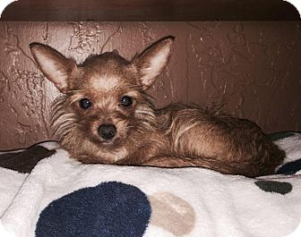 Yorkie, Yorkshire Terrier/Chihuahua Mix Dog for adoption in Kaufman, Texas - Sandy