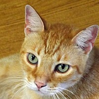 Domestic Shorthair Cat for adoption in Palm City, Florida - Garfield