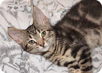 Domestic Mediumhair Kitten for adoption in Davis, California - Tatum