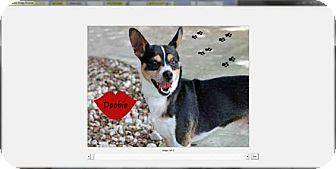 Chihuahua/Dachshund Mix Dog for adoption in Palm Harbor, Florida - Doobie